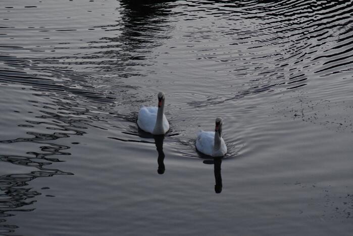Gewonde zwaan vliegt weg na vangpoging
