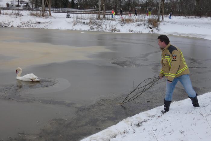 Zwaan vastgevroren op het ijs