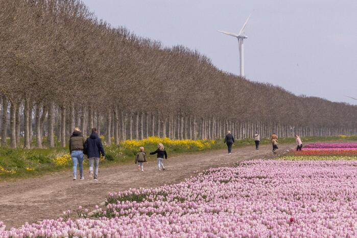 Bloembollenvelden Windpark trekt veel bekijks
