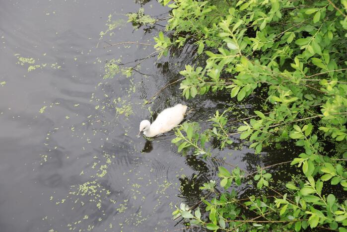 Brandweer haalt zwaantjes uit kanaal